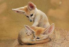 Fennec foxeswwwwwwwww