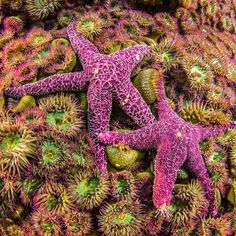 Photograph by @paulnicklen // Ochre Stars among the anemones.  With @cristinamittermeier and @sea_legacy  #starfish #nature #wildlife #smile #love #beauty #picoftheday #photooftheday by natgeo