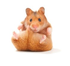 Find Funny Hamster stock images in HD and millions of other royalty-free stock photos, illustrations and vectors in the Shutterstock collection. Thousands of new, high-quality pictures added every day. Dwarf Hamster Toys, Teddy Hamster, Hamster Breeds, Hamster Food, Hamster Care, Hamster House, Hamster Ideas, Hamster Terrarium, Hamster Bedding
