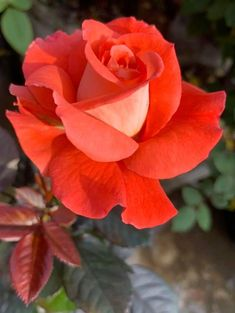 Beautiful Rose Flowers, Pretty Roses, Exotic Flowers, Amazing Flowers, Orange Flowers, Red Roses, Rose Flower Pictures, Rose Reference, Rose Music