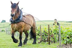 La Maison Billecart-Salmon a décidé de revenir aux méthodes ancestrales champenoises avec le cheval de trait qui a refait son apparition depuis quelques années dans le Clos Saint-Hilaire.