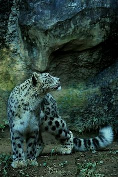 Snow Leopard ~ As Solid As A Rock.
