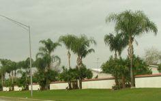 Buy Queen Palm Trees Syagrus romanzoffiana Palms - #PalmTrees RealPalmTrees.com #cycadpalms #Texas #California #Florida Wholesale Date Palms and plants #Landscape #Ideas #coldhardypalms #drytolerant #southflorida