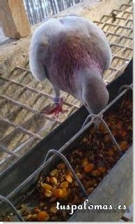 El peso óptimo en las palomas mensajeras - .. [+] http://www.tuspalomas.es/peso-optimo-palomas-mensajeras/