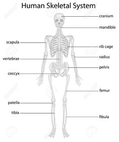 Human Skeleton Labeled Back View Study Anatomy Anatomy
