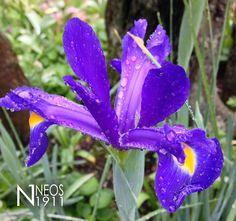 Iris  (Photo Credits: Silvia Perricone Neos 1911)