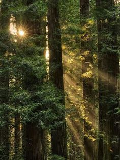 ˚Sun Rays at Coast Redwood (Sequoia sempervirens) Jedediah Smith Redwoods State Park - Del Norte County, CA Sequoia Sempervirens, Redwood Forest, Tree Forest, Forest Light, Woodland Forest, Walk In The Woods, Mother Nature, Nature Photography, Photography Tips