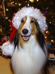 Santa Sheltie