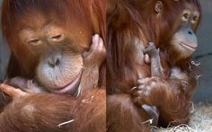 Mother love...  Sumatran orangutan Cahaya cuddles her six-day-old male baby Malou at the zoo in Zurich, Switzerland  Picture: EPA/ALESSANDRO DELLA BELLA