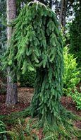 Majestic 'Frohburg', use this in my front yard landscaping. Garden Shrubs, Garden Trees, Garden Plants, Indoor Plants, Evergreen Landscape, Evergreen Garden, Weeping Norway Spruce, Weeping Trees, Picea Abies