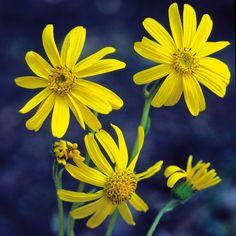 ARNICA montana (Arnique des montagnes - Herbe à tabac) : Plantes des prés montagnards, humifères et acides, plutôt frais mais bien drainés. Propriétés cicatrisantes. La teinture d'Arnica soigne entorses, foulures et traumatismes. Les feuilles basales, lancéolées, peuvent atteindre 15 à 20 cm de long. Grandes fleurs jaune foncé à jaune orangé.