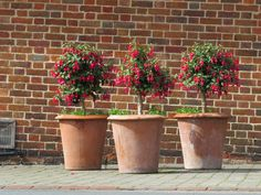Standard fuchsias sit pretty in a trio of Terracotta Camelia Garden Pots at Leeds Castle, Kent Large Terracotta Planters, Large Planters, Planter Pots, Container Plants, Container Gardening, Leeds Castle, Tuscan Style, Red Bricks, Bank Holiday