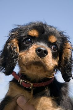 All About Fun Cavalier King Charles Spaniel Size Beautiful Dogs, Animals Beautiful, Cute Animals, Cavalier King Charles Dog, King Charles Spaniel, Pet Dogs, Dog Cat, Pets, Weiner Dogs