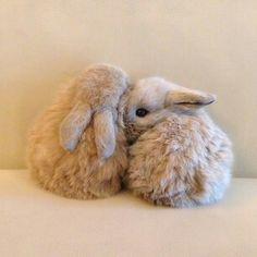 Secreto de conejo