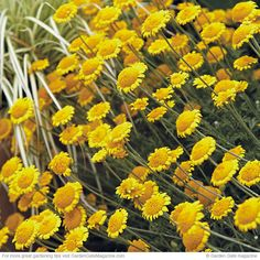 """Anthemis (Anthemis tinctoria). Sometimes referred to as """"golden marguerite"""" or """"Dyer's chamomile,""""  Anthemis, like compact 'Charme' in the photo, at just 12-16"""" tall, is covered in 1"""" flowers from summer to frost & reblooms well when deadheaded. Type Perennial. Blooms Bright yellow from summer to frost. Light Full sun. Soil Well-drained to dry, best in poor or gravelly. Size 12-36"""" tall & wide. Cold-hardy USDA zones 3-7. Heat-tolerant AHS zones 7-1"""
