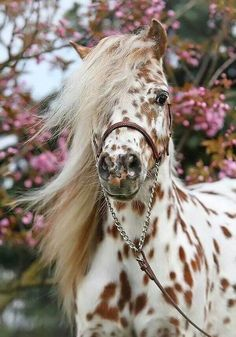 I love these type of horses. they are called appaloosa horses, which the American were very fond of back in the day. Caballos Appaloosa, Appaloosa Horses, Leopard Appaloosa, Dressage Horses, All The Pretty Horses, Beautiful Horses, Animals Beautiful, Beautiful Unicorn, Pretty Animals