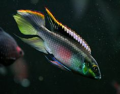 Pelvicachromis pulcher male