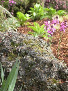 """Wind swept"" rock, erisymum bowles mauve,  heather, foxglove (not in bloom)"