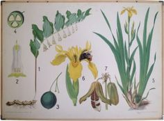 Vilhelm Balslev - Botanical School Chart. Verzameling in beeld - Serie - Botanische wandplaten