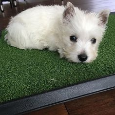 Toilet training is hard work! I crate trained my Westie. I kept her supervised and took her out to tend to bizness and excise, then back in the crate. I used a medium size crate. To give her room.