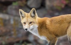 Those eyes Focused red fox that hunts near my house Vulpes vulpes  #animal #eyes #focused #hunts #near #house #vulpes #photography