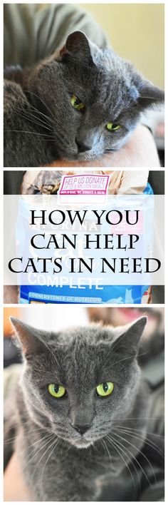 Ways on how you can help cats in need. Check this post out for some simple ways to help & some cute Russian Blue cats pics. #ad #CatChowCares