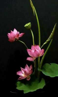 Beautiful Flowers Wallpapers, Beautiful Rose Flowers, Flowers Nature, Exotic Flowers, Amazing Flowers, Lotus Flowers, Pink Lotus, Lotus Flower Pictures, Flower Photos
