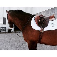 domino ready for schooling English Tack, English Riding, Horse Stables, Horse Tack, All The Pretty Horses, Beautiful Horses, Horse Gear, Equestrian Outfits, Horse Pictures