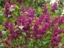 Syringa Ludwig Spaeth - Highly fragrant red-purple flowers. Thrives with Flowering Shrubs, Hedge Plants, Syringas.