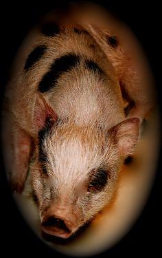 Wee mini Piggy Farm's miniature juliana