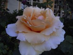 rose Just Jo