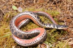 Kirtland's Snake (Clonophis kirtlandii) is one of the rarest snake species in the Midwest.