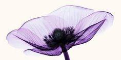 Resultado de imagem para xray flower