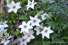 How to Grow Clematis successfully - Flower Patch Farmhouse Flower Patch, Clematis, Patches