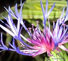 Centaurea - 'Blue'