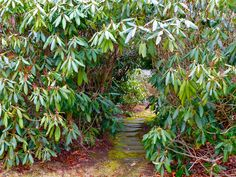 Cool arbor of mountain rhododendrons