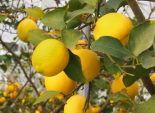 河合果樹園の無農薬レモン