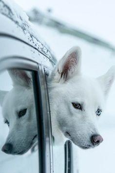White Siberian Husky Puppy Dog Dogs Puppies Huskies