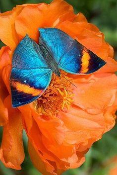 Orange Oakleaf Butterfly on flower via Bird's Eye View at www.Facebook.com/aBirdsEyeViewForYou
