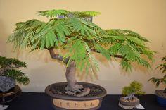 Flame Tree/Poinciana