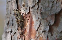 Pescalune Photo: Cigale de l'Orne (Cicada orni)