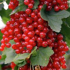 Bio-Jungpflanzen von BIONANA Fruit, Desserts, Red Currants, Crop Rotation, Marbles, Harvest, Tailgate Desserts, Deserts, Postres
