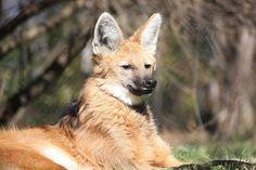 Le loup à crinière Seul représentant de son genre, ce membre de la famille des canidés vit en Amérique du sud. A mi-chemin entre le loup et le grand renard, il est extrêmement connu sur son continent.
