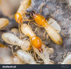 10 Best Termite Or White Ant Images White Ant Termite Treatment Termite Control
