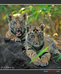 b5999ab46b59 70 Best big cats images