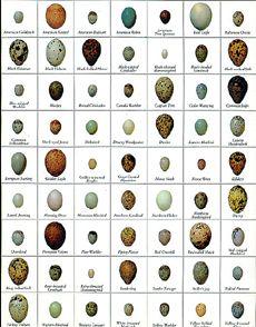 Bird Egg Identification Chart