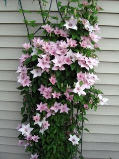 Clematis Pink Fantasy zone 4
