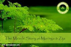 The Miracle Story of Moringa and Zija • Moringamate
