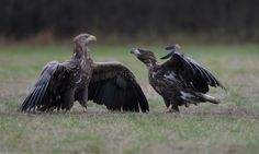 """Ruler and Servant - With on the left hand side an almost mature White-tailed Sea Eagle and on the right hand side a second year juvenile White-tailed Sea Eagle. ©<a href=""""http://www.hewaph.com"""">Harry Eggens</a> Best wishes, Harry"""