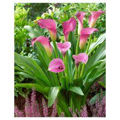 Callas - Lavender Sensation - Set of 5 Bulbs - Van Zyverden